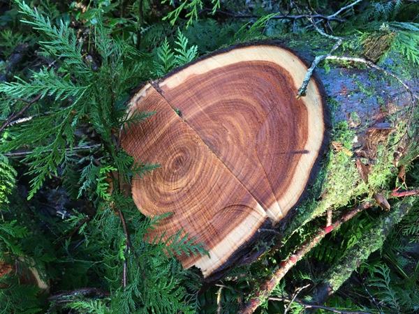 The fallen cedar at River Song