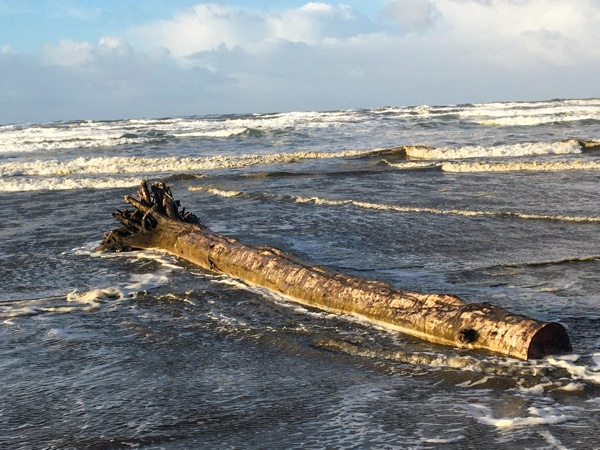 A log that washed ashore, Surfside Beach