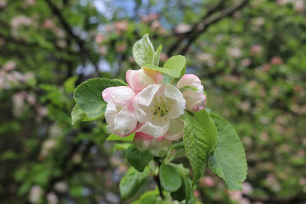 Apple blossoms at River Song