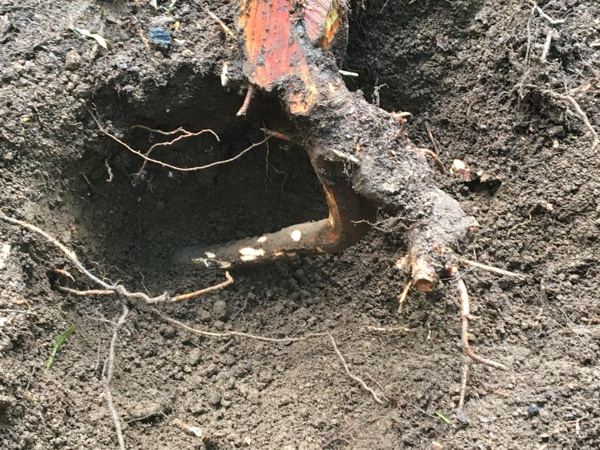 Vine maple root