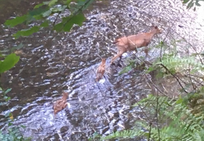 A doe and her two fawns crossing the river